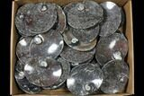 "Wholesale Lot: 5"" Oval Dishes With Goniatite Fossils - 44 Pieces - #119404-1"