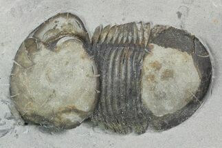 "1.45"" Bumastus Ioxus Trilobite - New York For Sale, #120098"
