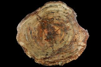 "Buy 19.9"" Thick, Petrified Wood (Araucaria) Round - Madagascar  - #118738"