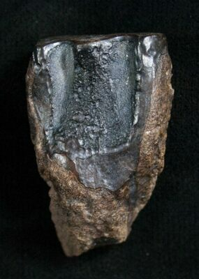 Worn and discarded Triceratops tooth