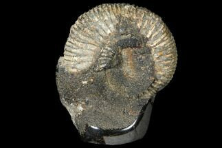 "Buy 3.1"" Ammonite (Perisphinctes) In Septarian - Madagascar - #113665"
