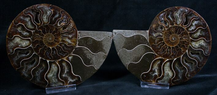 Beautiful 4.1 Inch Cut and Polished Ammonite Pair