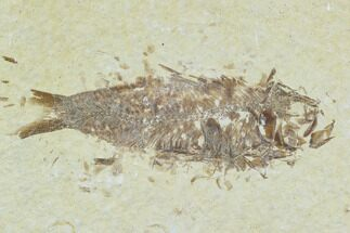 "Buy Bargain 2.7"" Fossil Fish (Knightia) - Wyoming - #120478"