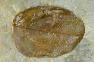 "Buy 1.8"" Fossil Dogwood (Cornus) Leaf - Montana - #120778"