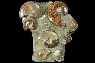 Cleoniceras, Dactilioceras, Astarte sp., unidentifed ammonite and goniatite - Fossils For Sale - #120702