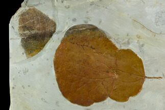 Three Fossil Leaves (Zizyphoides And Vibernum) - Montana For Sale, #120803