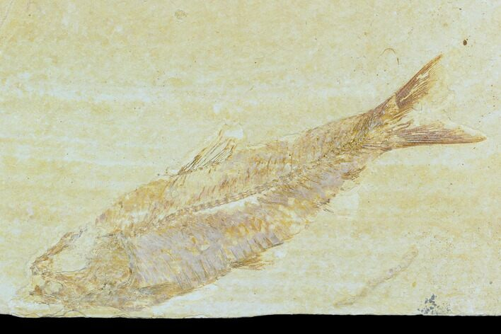"3.7"" Detailed Fossil Fish (Knightia) - Wyoming"