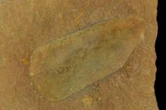 "Buy 1.0"" Fossil Egg Case (Lepidocystis) - Illinois - #120880"