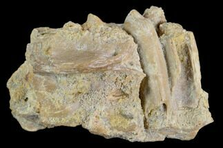 "Buy 2.0"" Fossil Crocodile Dentary (Lower Jaw) Bone - Aguja Formation, Texas - #116656"