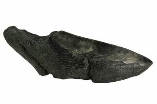 Carcharocles megalodon - Fossils For Sale - #121275