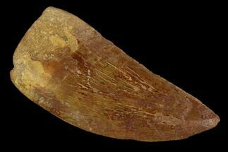 "Serrated, 2.89"" Carcharodontosaurus Tooth - Real Dinosaur Tooth For Sale, #121442"