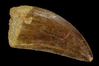 Carcharodontosaurus - Fossils For Sale - #121443