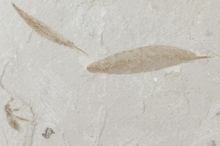 Fossil Leaves, Bee and Beetle - Green River Formation, Utah