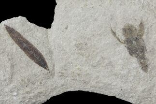 Fossil Leaf  And Grasshopper - Green River Formation For Sale, #109202