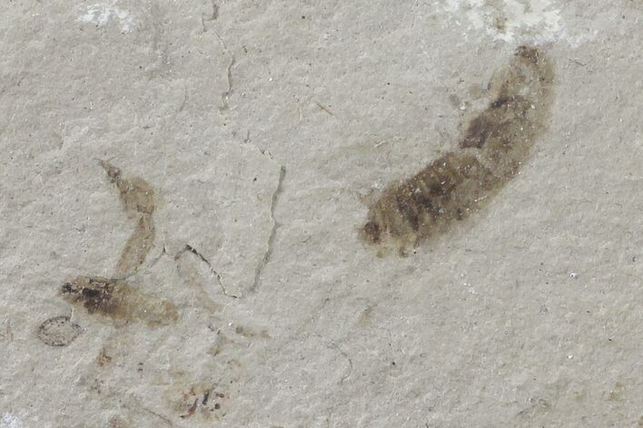 Fossil Insect Cluster - Green River Formation, Utah
