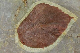 "3.6"" Fossil Leaf (Davidia) - Montana For Sale, #120812"