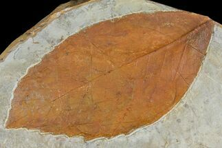 "Buy 5.9"" Unidentified Fossil Leaf - Montana - #120820"