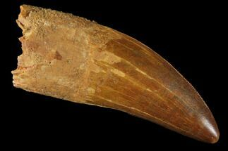 "Buy Robust, 2.90"" Carcharodontosaurus Tooth - Real Dinosaur Tooth - #121522"