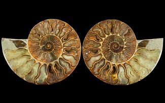 "Buy 5"" Sliced Ammonite Fossil (Pair) - Agatized - #114901"