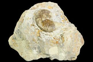 "1.5"" Ammonite Fossil - Boulemane, Morocco For Sale, #122426"