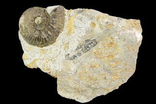 "1.7"" Ammonite Fossil - Boulemane, Morocco For Sale, #122429"
