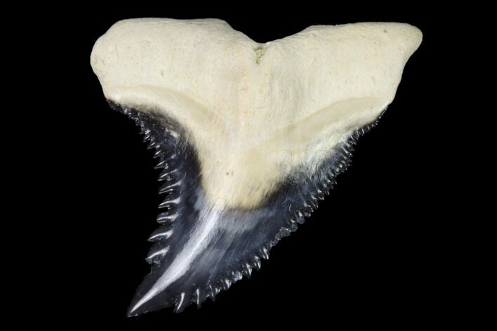 "1.04"" Fossil Shark Tooth (Hemipristis) - Bone Valley, Florida"