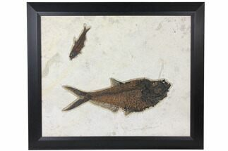 "26"" Framed Fossil Fish Plate (Diplomystus & Knightia) - Wyoming For Sale, #122639"