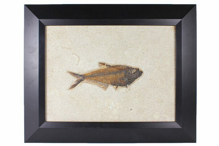 "6.9"" Framed Fossil Fish (Diplomystus) - Wyoming"