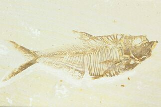 "5.2"" Fossil Fish (Diplomystus) - Green River Formation For Sale, #122744"