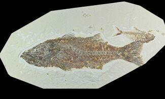 "13.7"" Mioplosus With Diplomystus - Green River Formation For Sale, #122666"