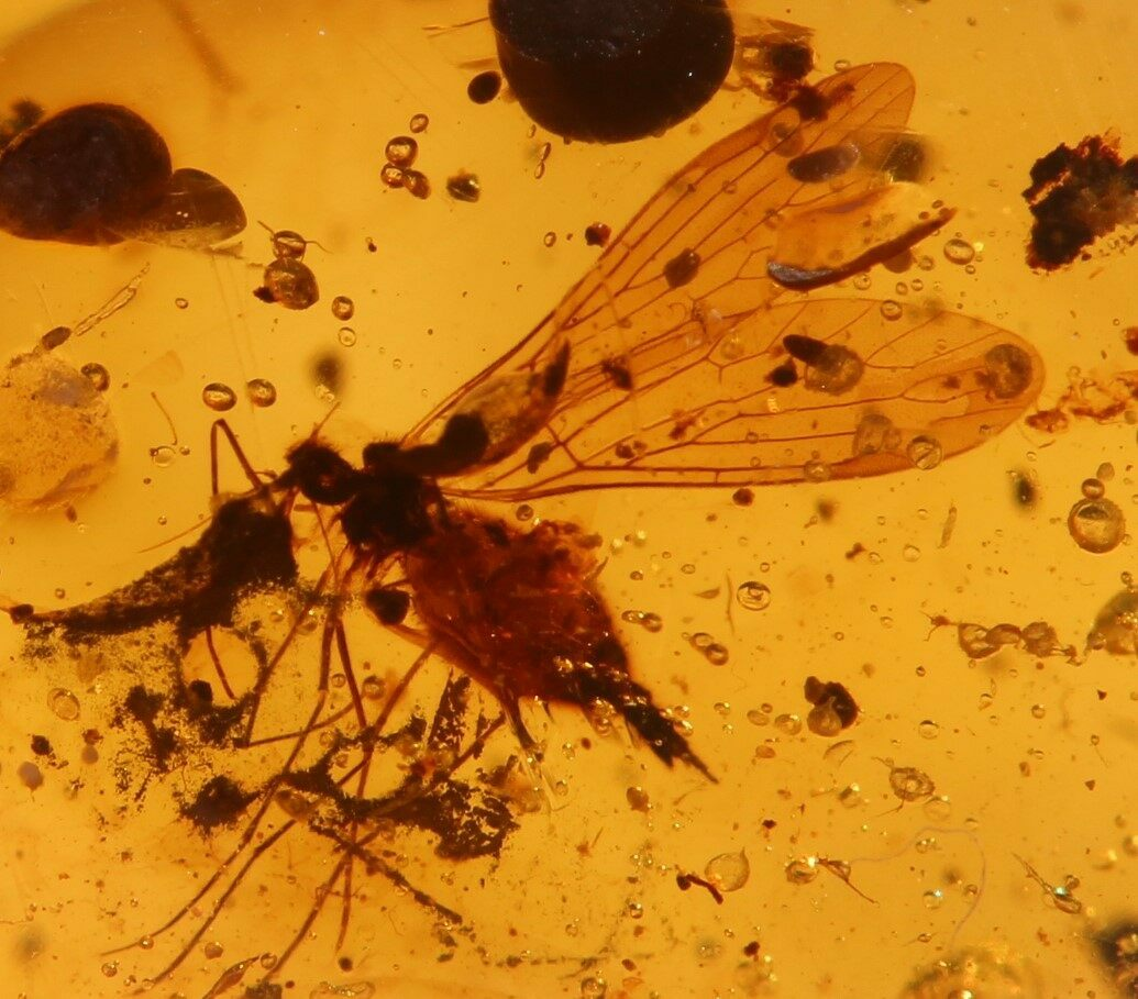 Electronic Recruitment Application Era Myanmar: 3.9mm Fossil Mosquito (Culicidae) In Amber