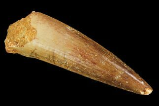 "2.3"" Spinosaurus Tooth - Real Dinosaur Tooth For Sale, #116405"