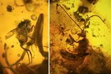 15mm Wasp (Hymenoptera) With Fly In Baltic Amber - #123381-1