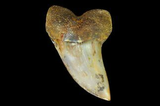 "1.68"" Colorful Mako/White Shark Tooth Fossil - Sharktooth Hill, CA For Sale, #122681"