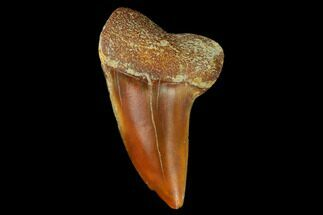 "Buy 1.47"" Colorful Mako/White Shark Tooth Fossil - Sharktooth Hill, CA - #122692"