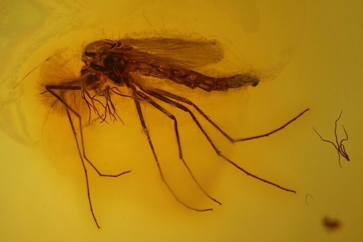 2.5mm Fossil Fly (Diptera) In Baltic Amber