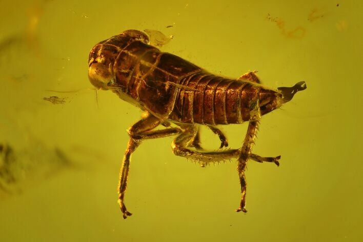 3.6mm Fossil Cicada (Auchenorrhyncha) Nymph In Baltic Amber