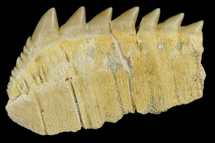 "1.9"" Fossil Cow Shark (Hexanchus) Tooth - Morocco"