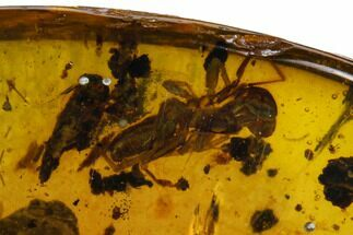 4.53mm Fossil Spider (Araneae) In Amber - Myanmar For Sale, #122975