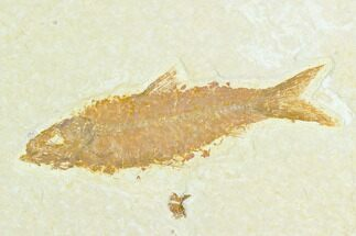 "Buy 3.0"" Fossil Fish (Knightia) - Green River Formation - #122899"