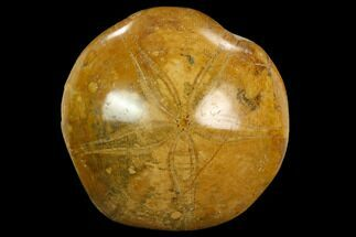 "2.4"" Polished Fossil Sand Dollar (Mepygurus) - Jurassic For Sale, #124091"