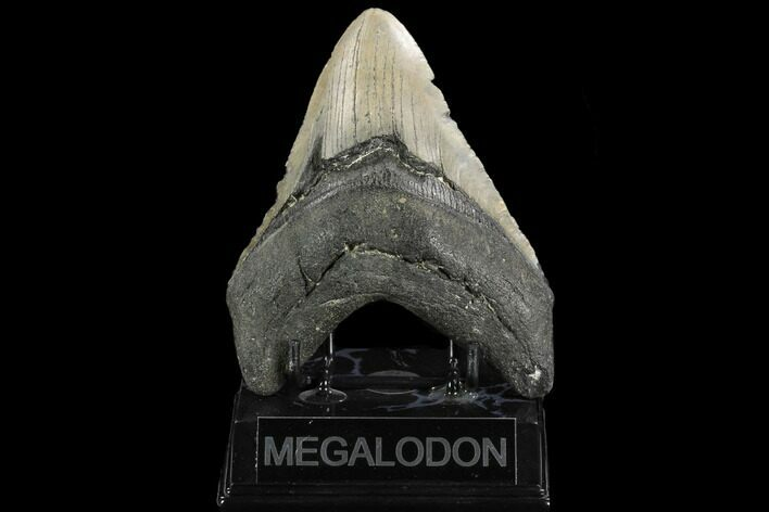 "5.17"" Fossil Megalodon Tooth - North Carolina"