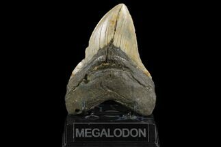"Buy 5.24"" Fossil Megalodon Tooth - North Carolina - #124387"