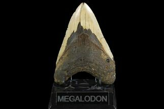 Carcharocles megalodon - Fossils For Sale - #124389