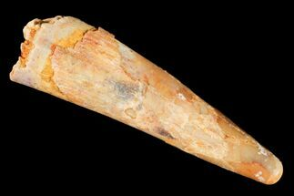 "1.12"" Pterosaur (Siroccopteryx) Tooth - Morocco For Sale, #124724"