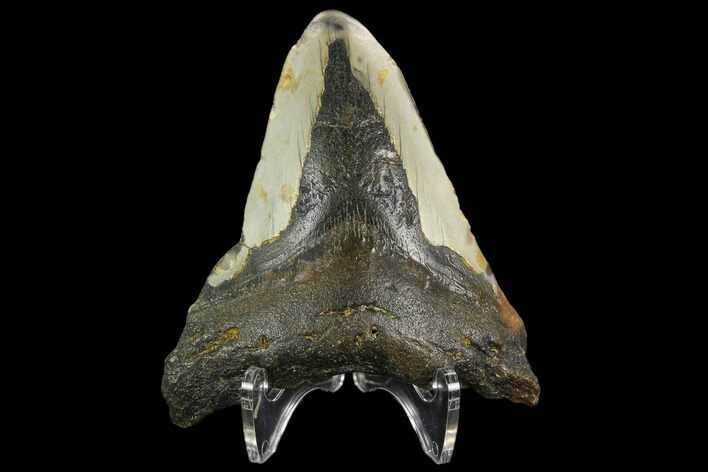 "Bargain, 3.72"" Fossil Megalodon Tooth - North Carolina"