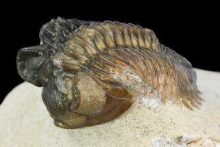 "1.9"" Multi-Toned, Coltraneia Trilobite - Unusual Location For Sale, #125132"