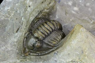 ".9"" Diademaproetus Trilobite - Ofaten, Morocco For Sale, #125210"
