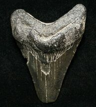 Carcharocles megalodon - Fossils For Sale - #8712