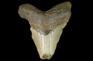 Carcharocles megalodon - Fossils For Sale - #124758